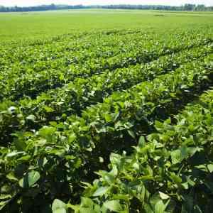Organic Soybean Field in Vermont