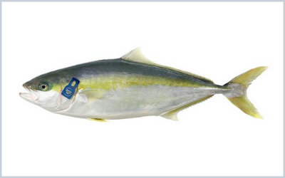 The Dutch Kingfish Zeeland BV markets yellowtail flounder,  farmed using a closed-circuit aquaculture system.